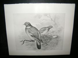 Frohawk 1898 Antique Bird Print. Wood Pigeon